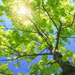 sycamore-tree-sun-nature
